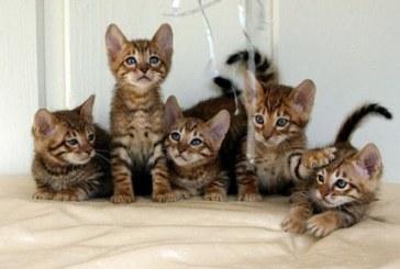 Veterinarijos gydytojas pataria kačių laikytojams