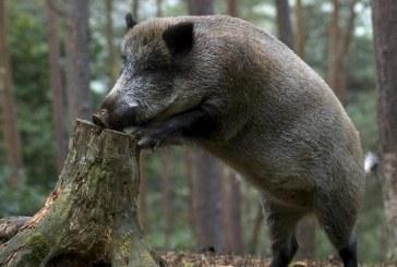Plečiama afrikinio kiaulių maro buferinė zona. Į šį sąrašą pateko Birštono  ir Prienų rajono savivaldybės.