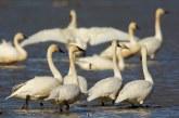 Lietuvoje nustatytas pirmasis paukščių gripo atvejis