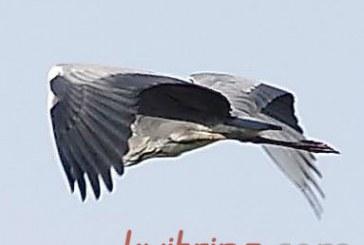 Gandro skrydis (Fotoakimirkos)