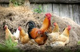 Paukščių gripo grėsmė naminiams paukščiams