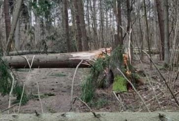 """Miškininkai jau sutvarkė audros """"Laura"""" nusiaubtus miškus"""